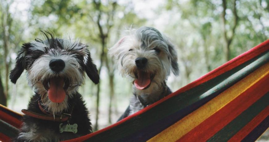 Perros felices en una hamaca mirando a la cámara