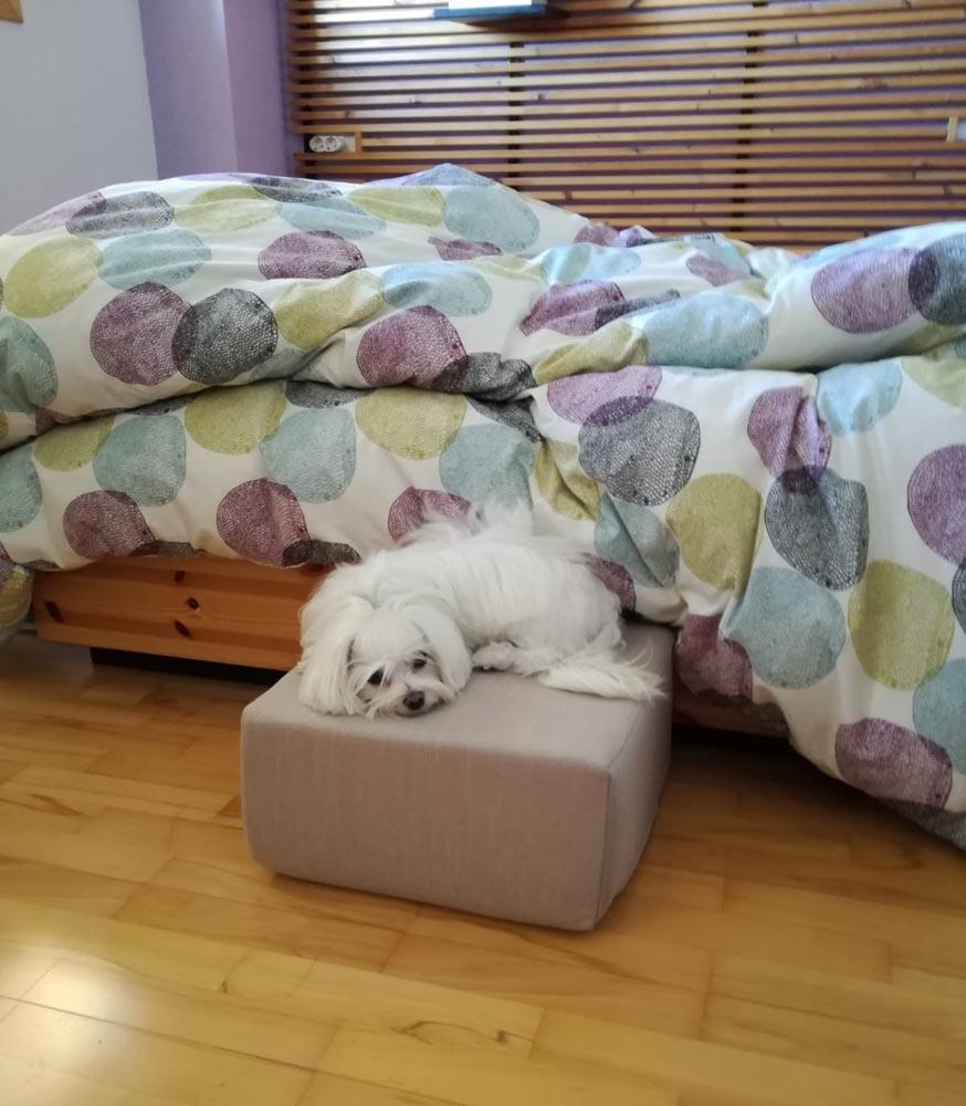 Bichón maltés descansando sobre cubo Easy Step en habitación