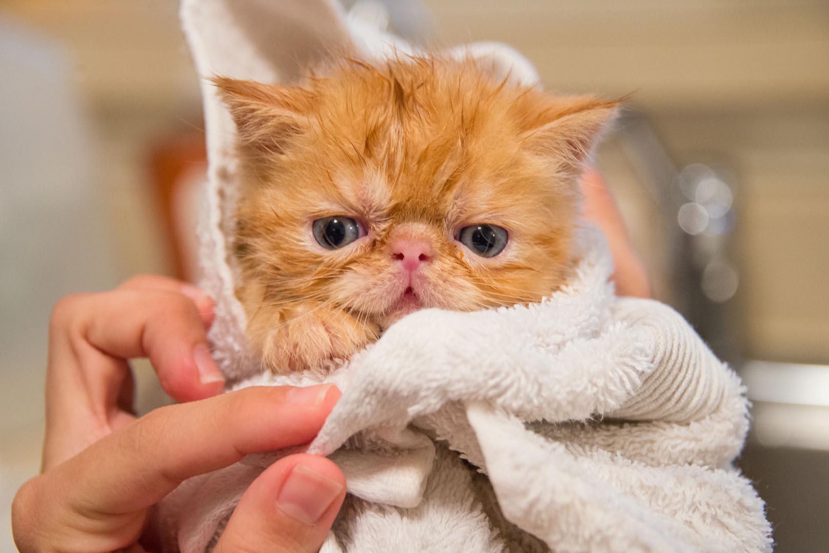 Gato pequeño envuelto en toallas después del baño, no parece contento