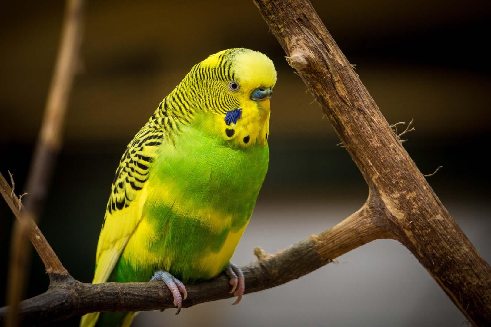 Periquito de plumaje verde y amarillo posa sobre una rama de un árbol