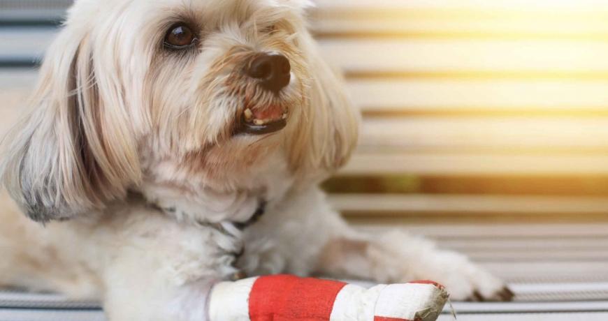 lesiones más frecuentes en perros
