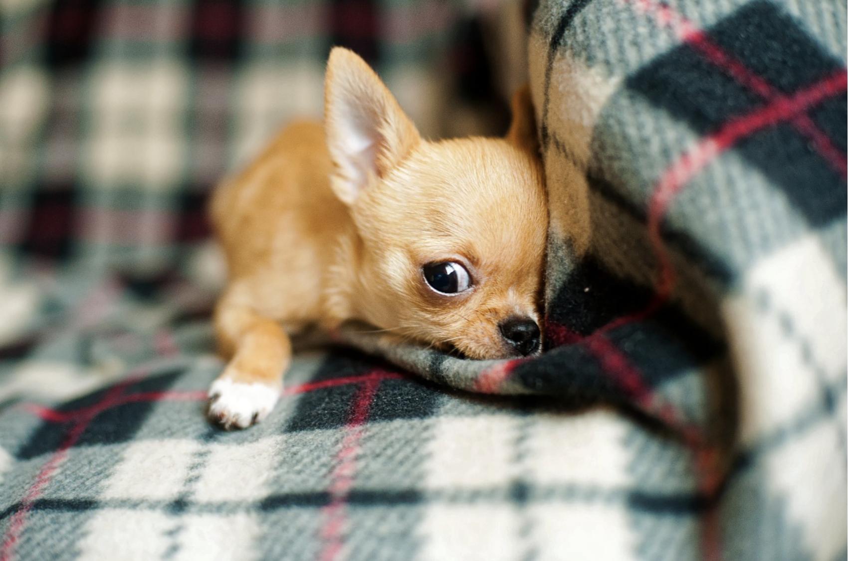 Chihuahua, el perro ideal para tener en casa