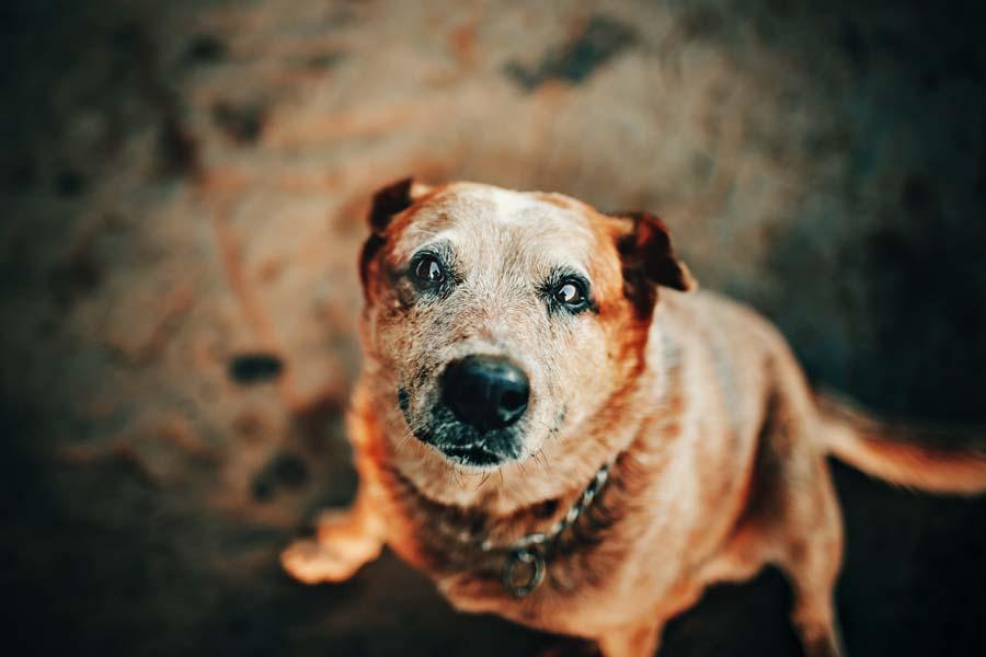 Perro con cataratas en los ojos